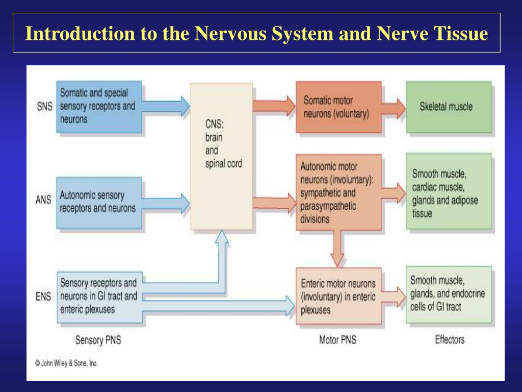 an introduction to the nervous system