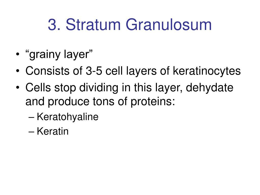 3. Stratum Granulosum
