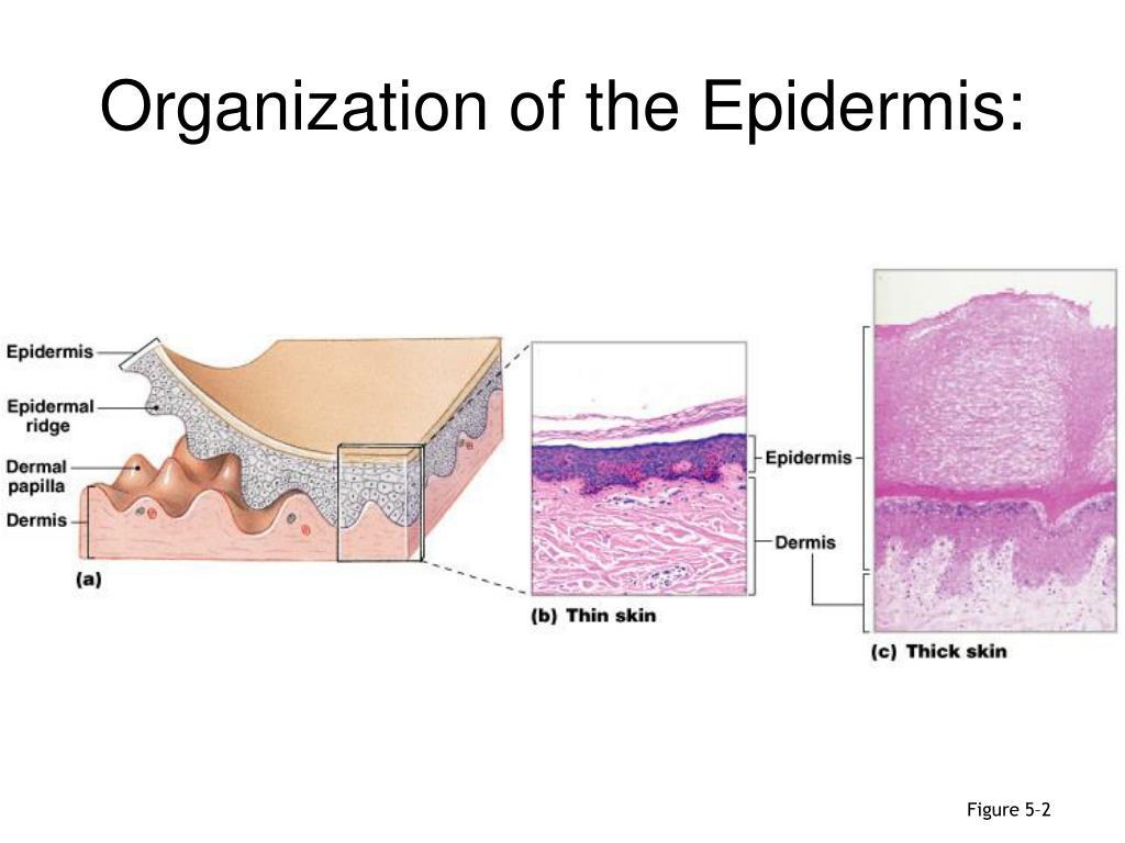 Organization of the Epidermis: