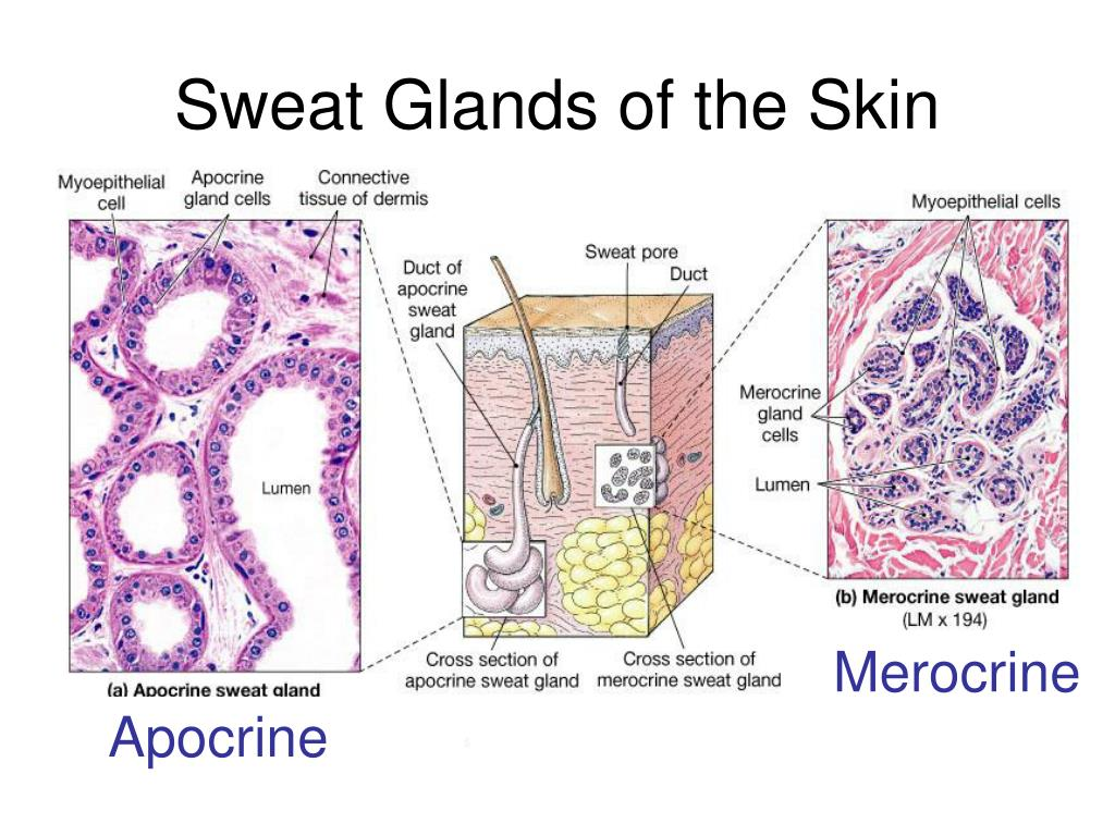 Sweat Glands of the Skin