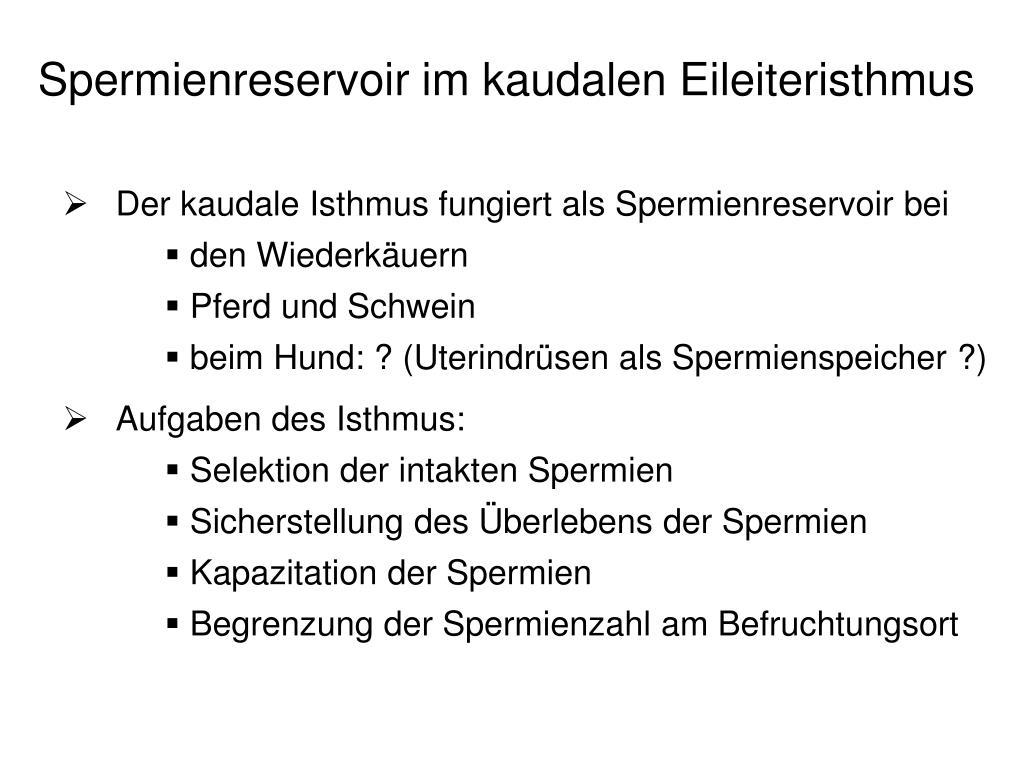 Spermienreservoir im kaudalen Eileiteristhmus
