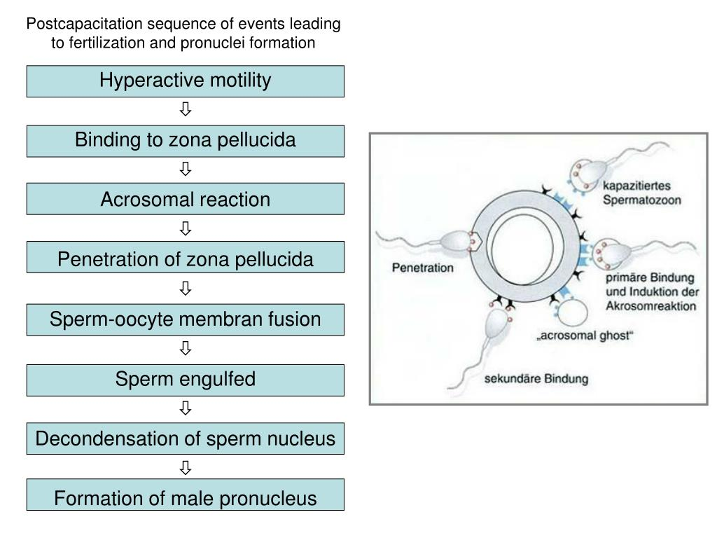 Postcapacitation sequence of events leading to fertilization and pronuclei formation
