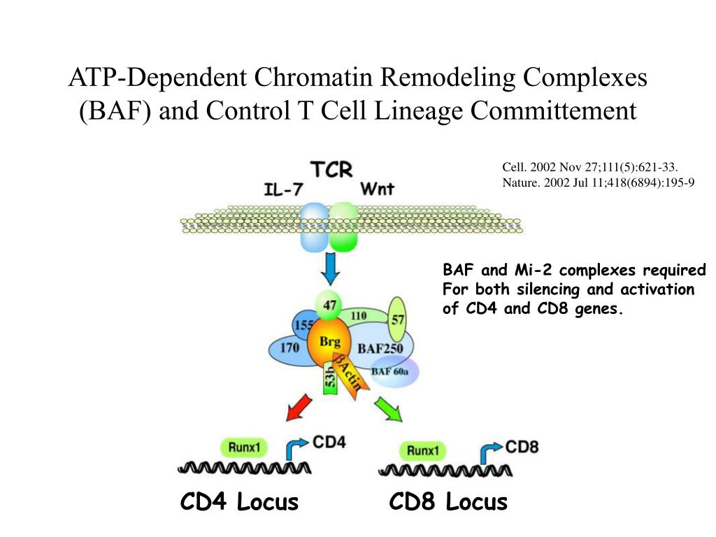 ATP-Dependent Chromatin Remodeling Complexes (BAF) and Control T Cell Lineage Committement