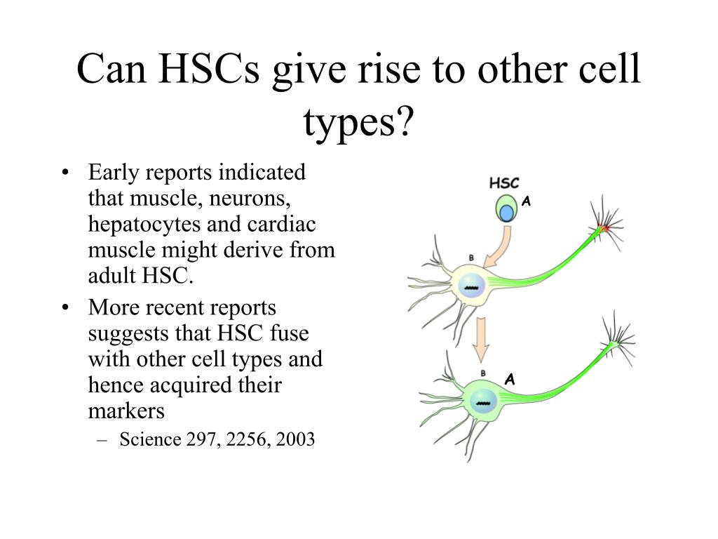 Can HSCs give rise to other cell types?