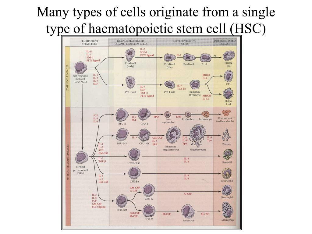Many types of cells originate from a single type of haematopoietic stem cell (HSC)
