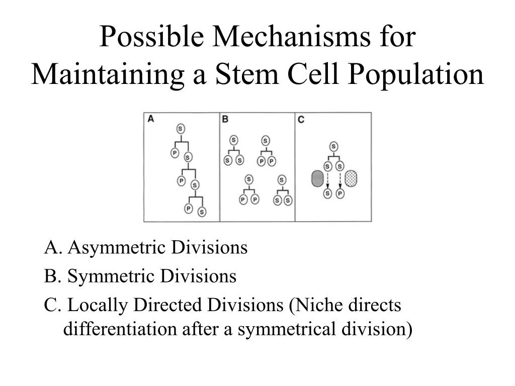 Possible Mechanisms for Maintaining a Stem Cell Population