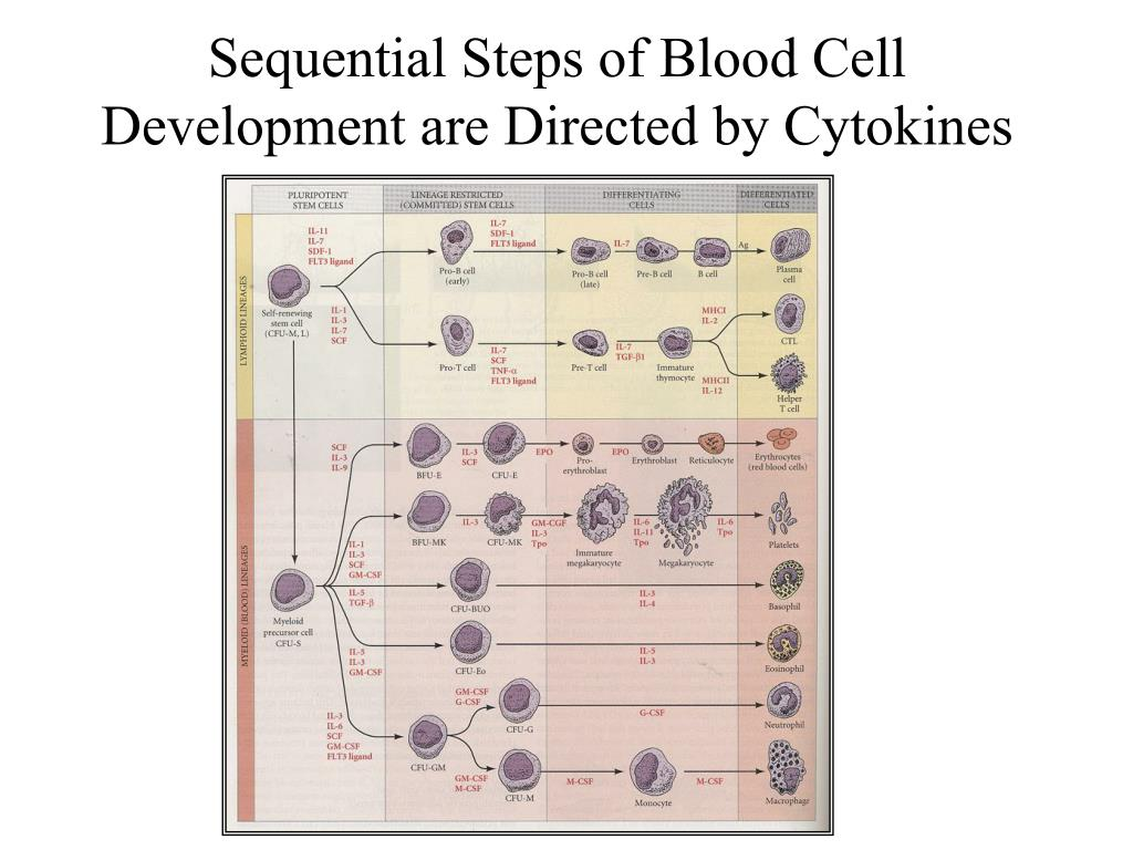 Sequential Steps of Blood Cell Development are Directed by Cytokines