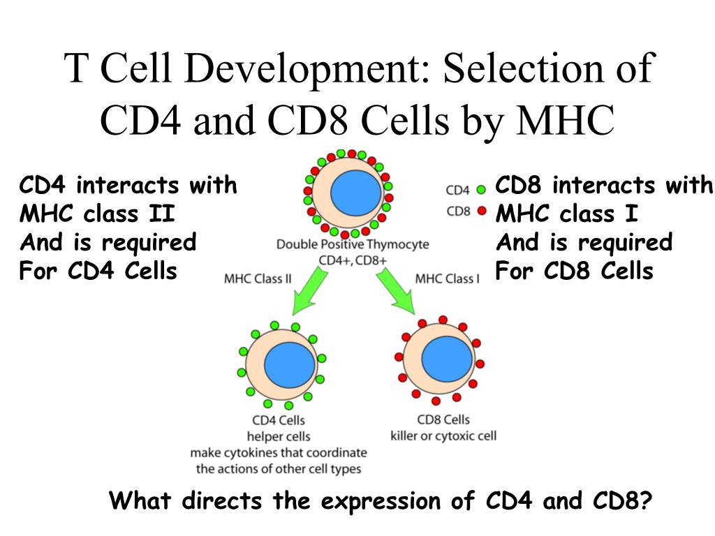 T Cell Development: Selection of CD4 and CD8 Cells by MHC