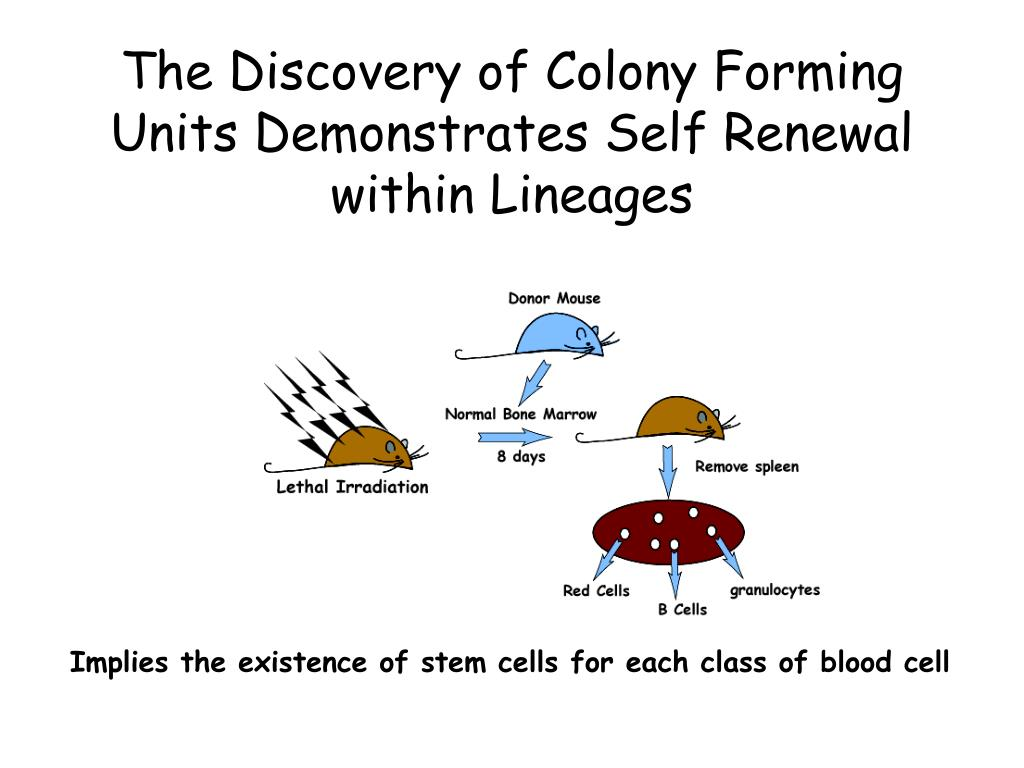 The Discovery of Colony Forming Units Demonstrates Self Renewal within Lineages