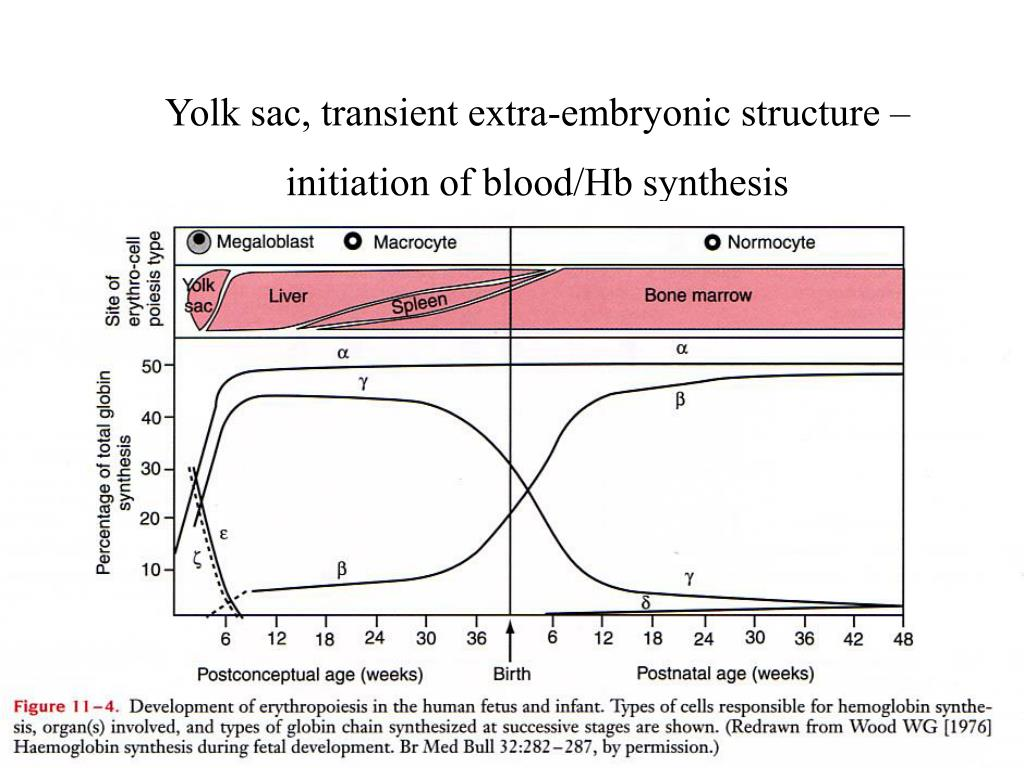 Yolk sac, transient extra-embryonic structure – initiation of blood/Hb synthesis