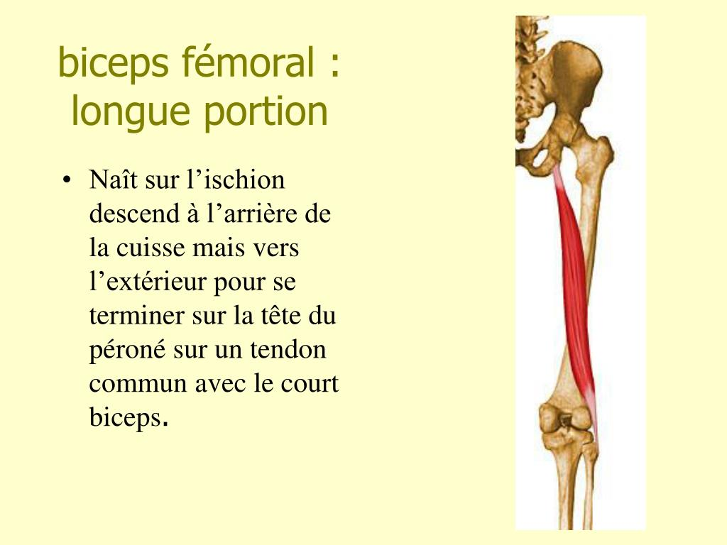 biceps fémoral : longue portion