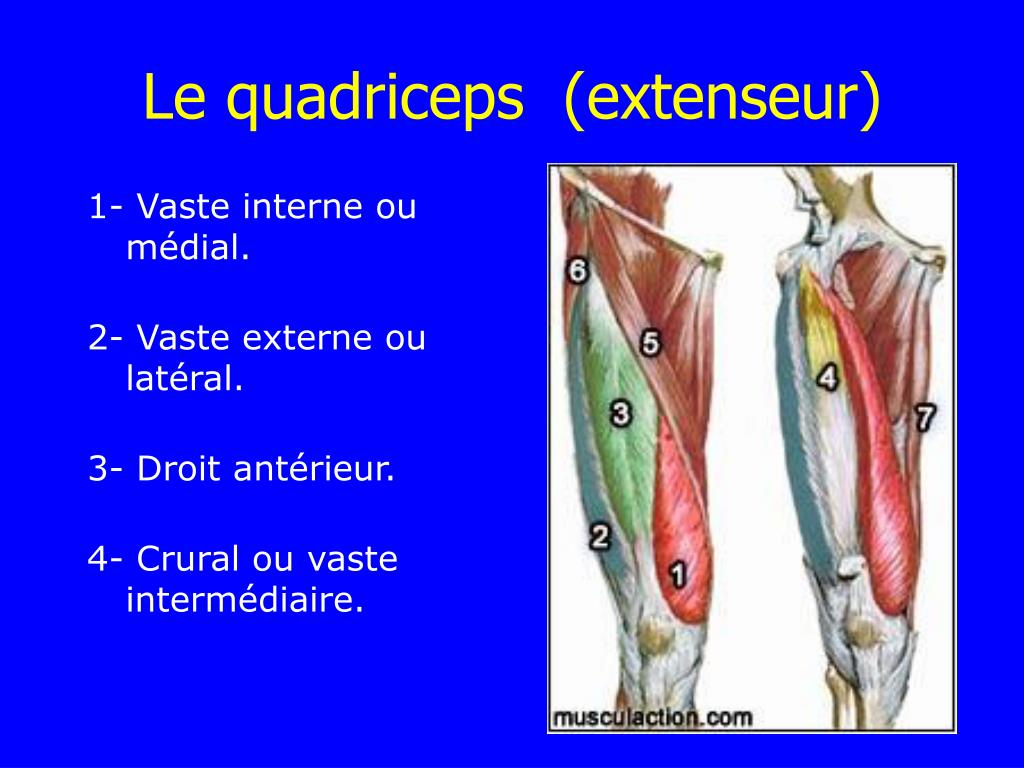 Le quadriceps  (extenseur)