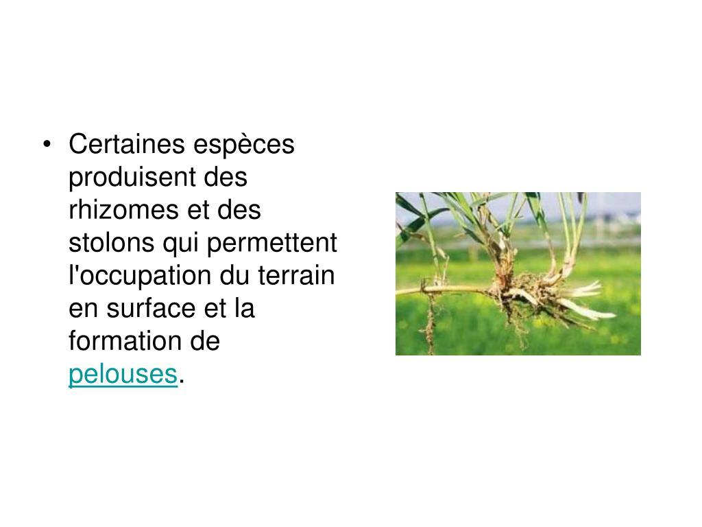 Certaines espèces produisent des rhizomes et des stolons qui permettent l'occupation du terrain en surface et la formation de
