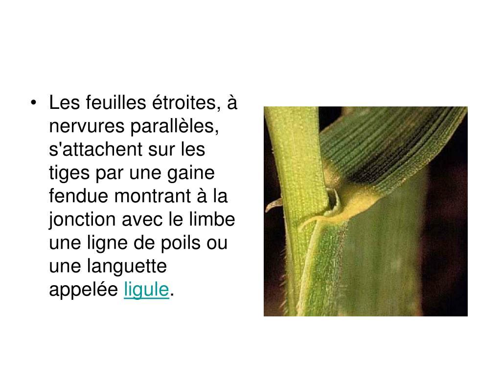 Les feuilles étroites, à nervures parallèles, s'attachent sur les tiges par une gaine fendue montrant à la jonction avec le limbe une ligne de poils ou une languette appelée