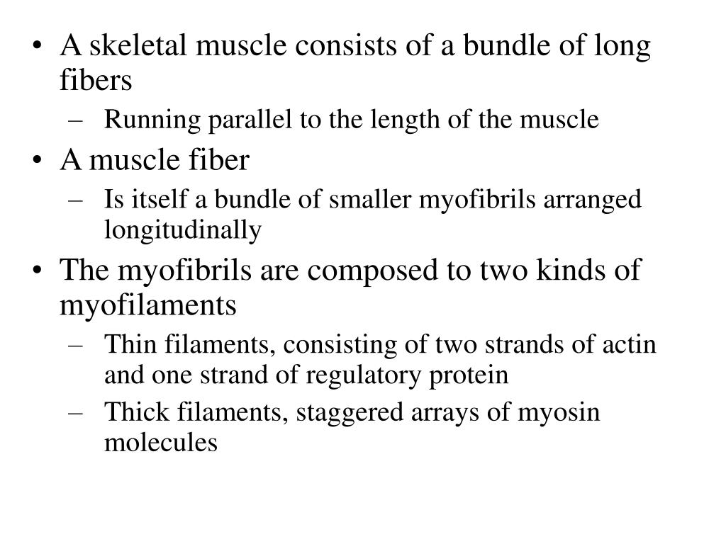 A skeletal muscle consists of a bundle of long fibers