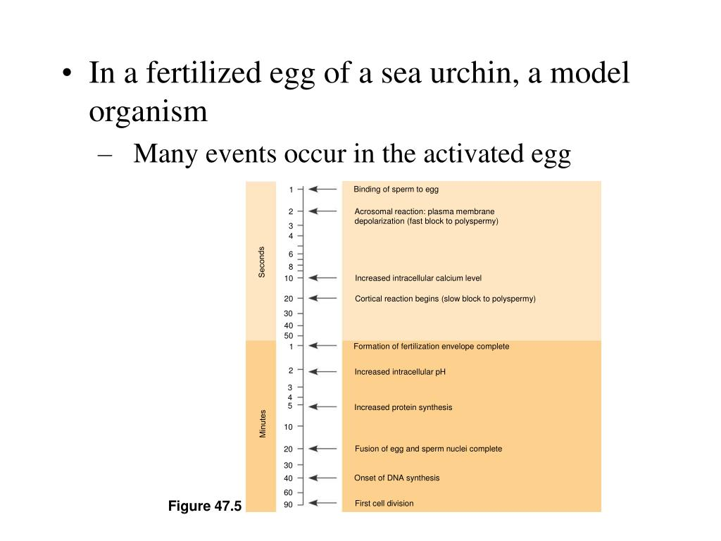Binding of sperm to egg