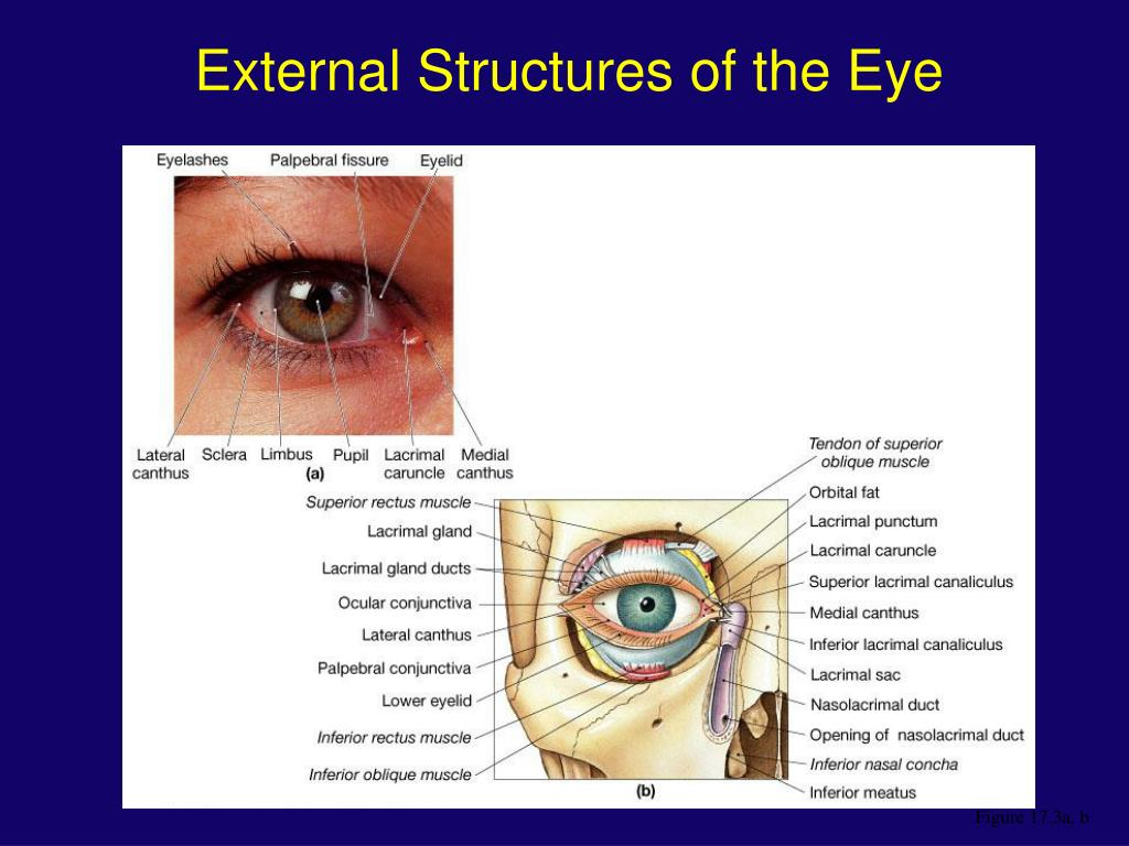External Structures of the Eye