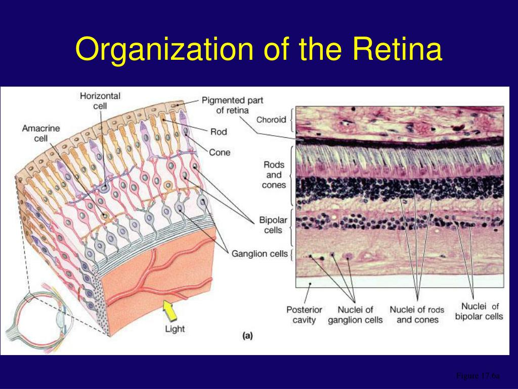 Organization of the Retina