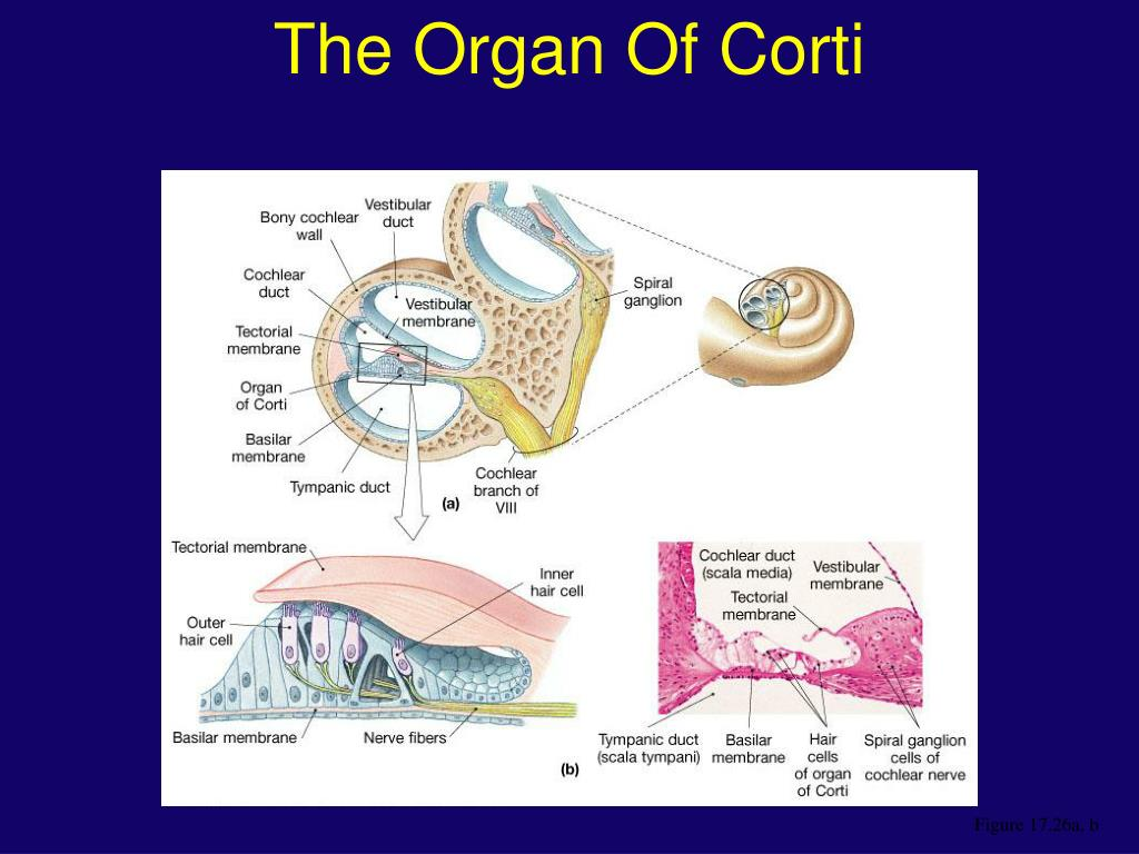 The Organ Of Corti