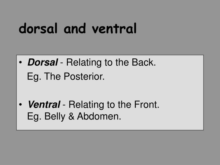 dorsal and ventral
