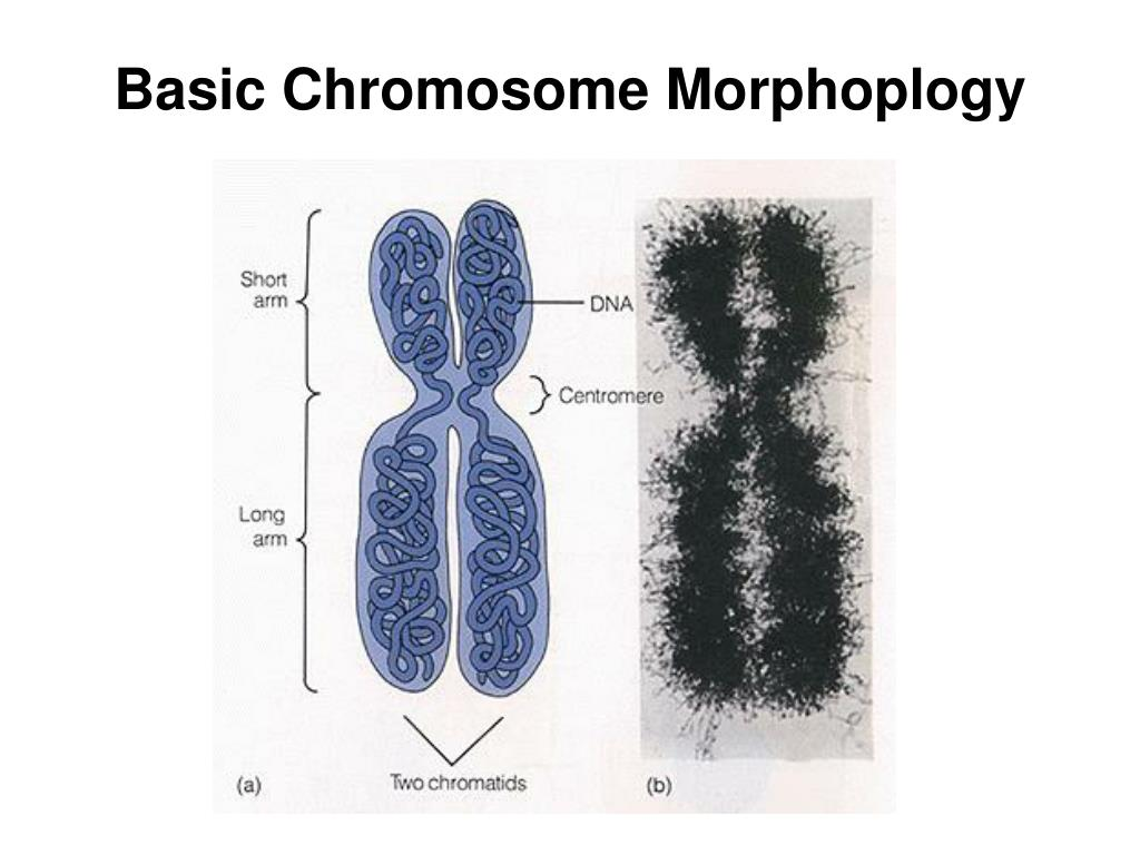 Basic Chromosome Morphoplogy
