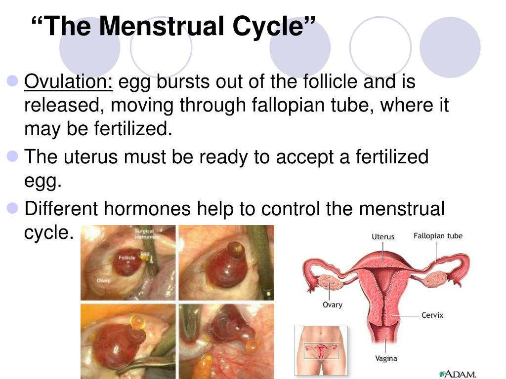 """The Menstrual Cycle"""