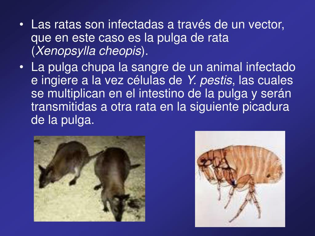 Las ratas son infectadas a través de un vector, que en este caso es la pulga de rata (