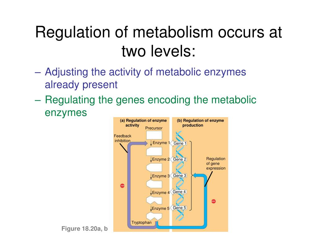 (a) Regulation of enzyme