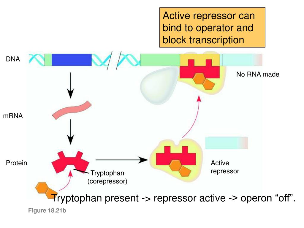 Active repressor can bind to operator and block transcription