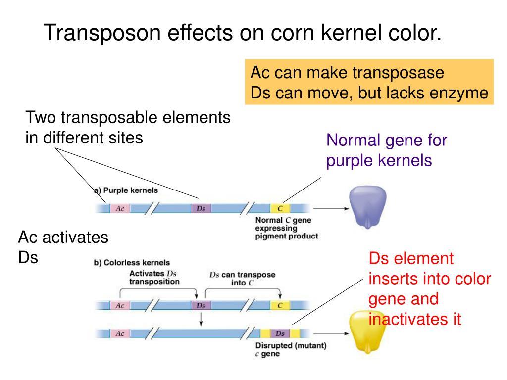 Transposon effects on corn kernel color.
