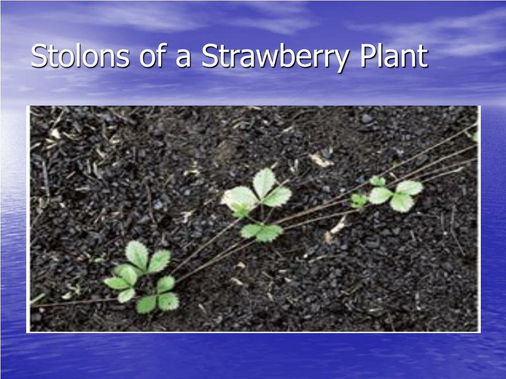 Stolons of a Strawberry Plant
