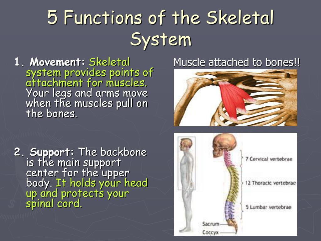 major bones in body and one muscle that attaches to each List the major bones of the body and at least one muscle that attaches to each (minimum of 18) on studybaycom - health, essay - junior1994 | 33908.