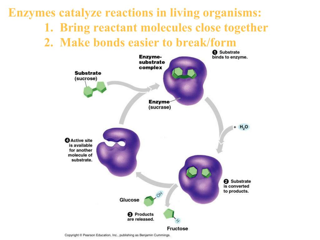 enzymes in living organisms Enzymes are chemicals found in living things that act to speed up specific chemical reactions enzymes are catalysts for biochemical (living) reactions if there is any chemical reaction in any living thing there is an enzyme that works to bring it about.