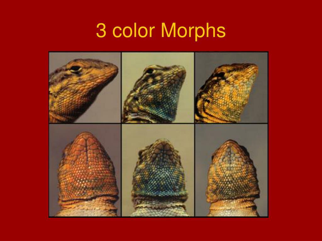 3 color Morphs