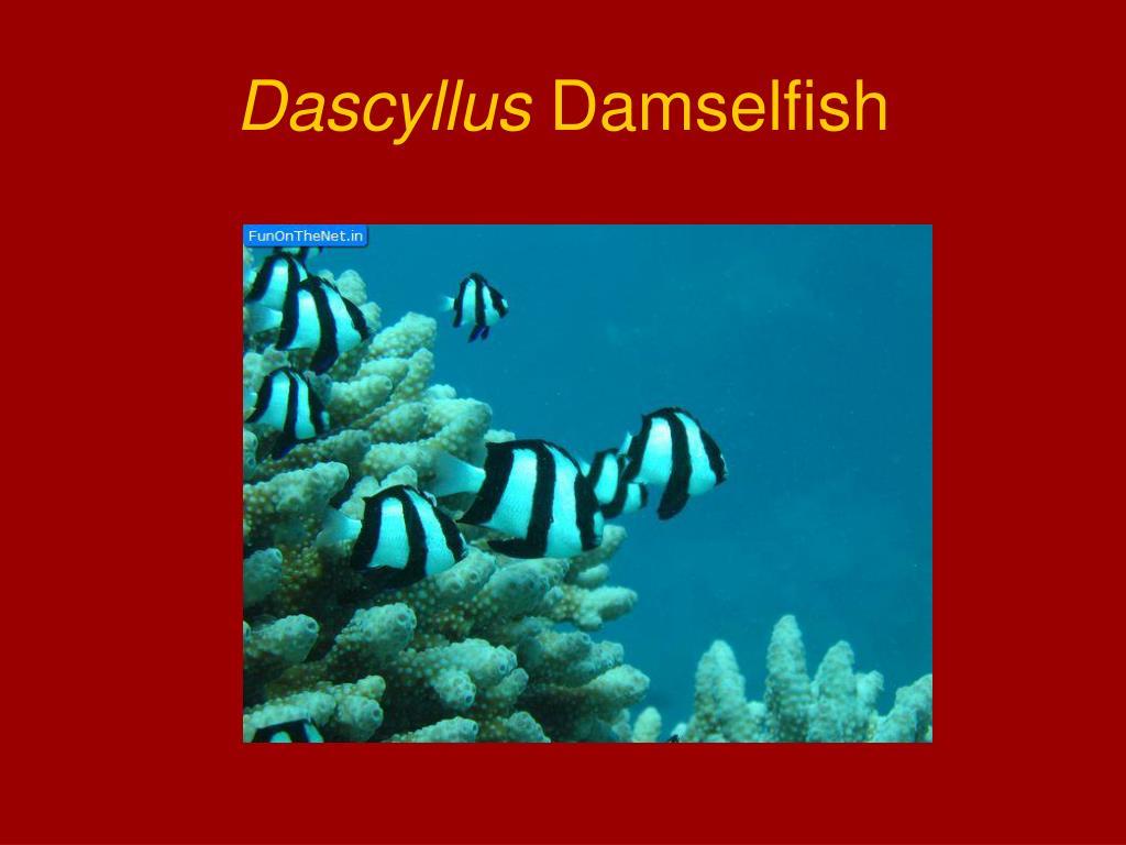 Dascyllus