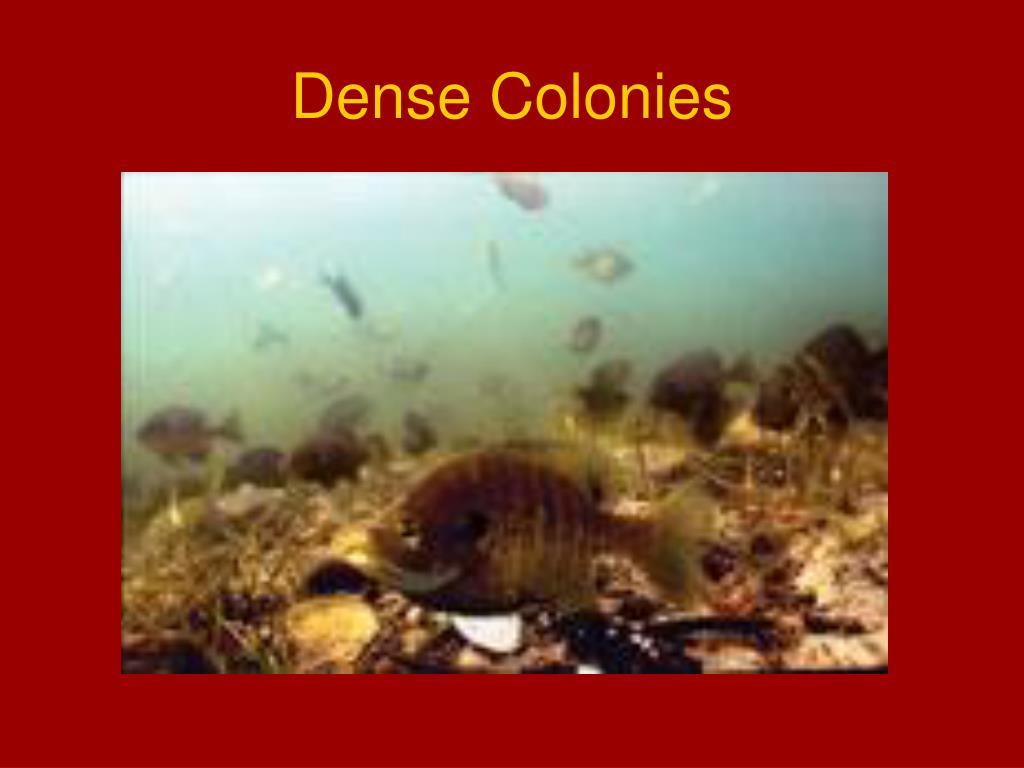Dense Colonies
