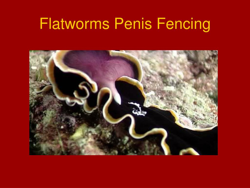 Flatworms Penis Fencing