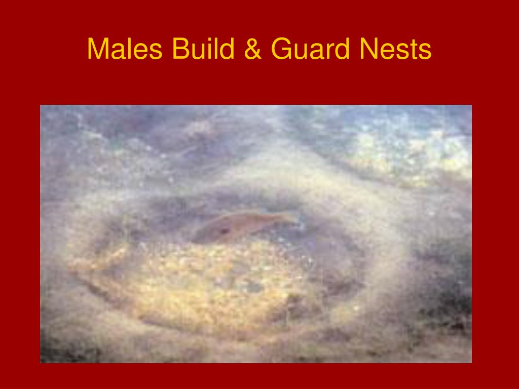 Males Build & Guard Nests