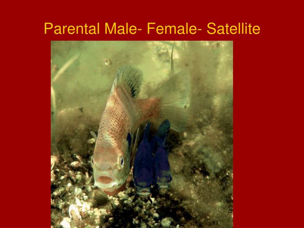 Parental Male- Female- Satellite