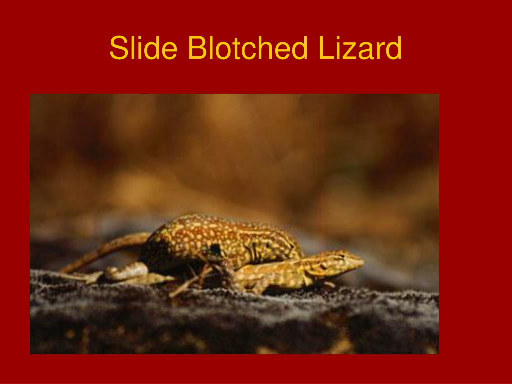 Slide Blotched Lizard