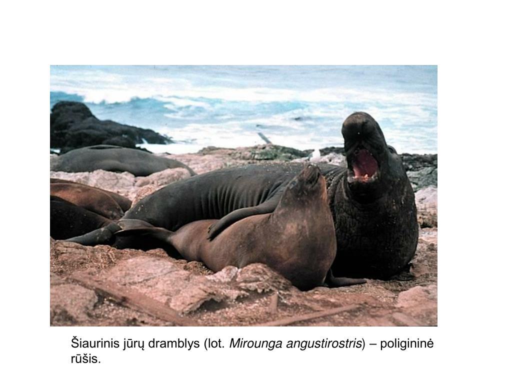 Šiaurinis jūrų dramblys (lot.