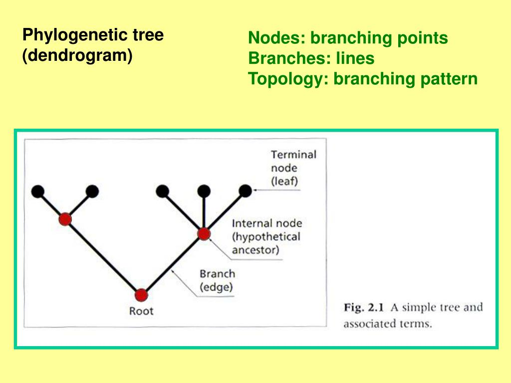 Phylogenetic tree
