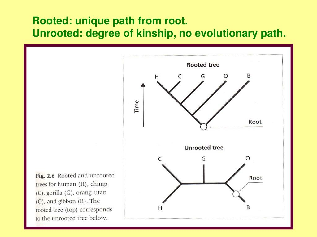 Rooted: unique path from root.