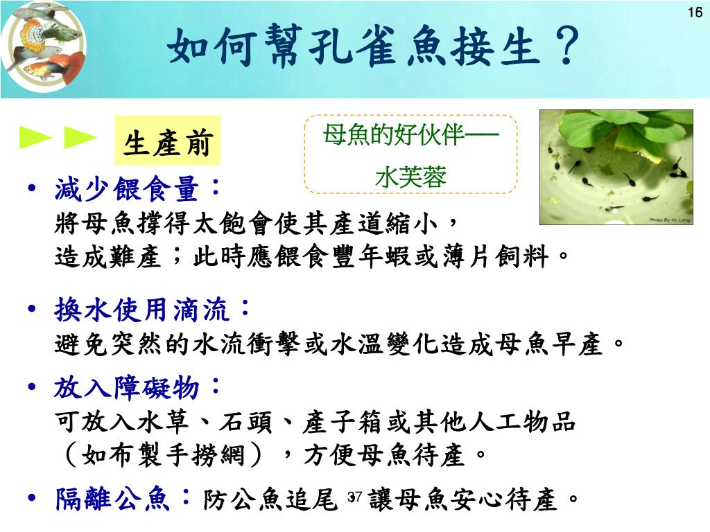 如何幫孔雀魚接生?