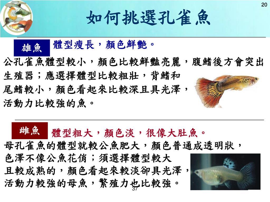 如何挑選孔雀魚