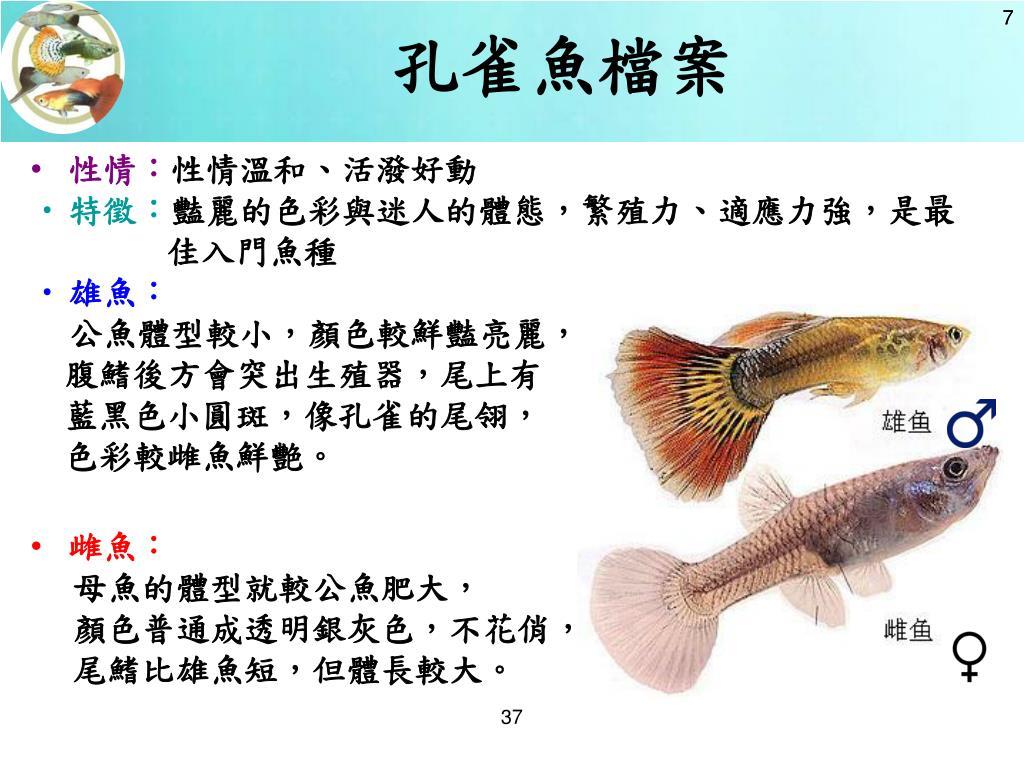孔雀魚檔案