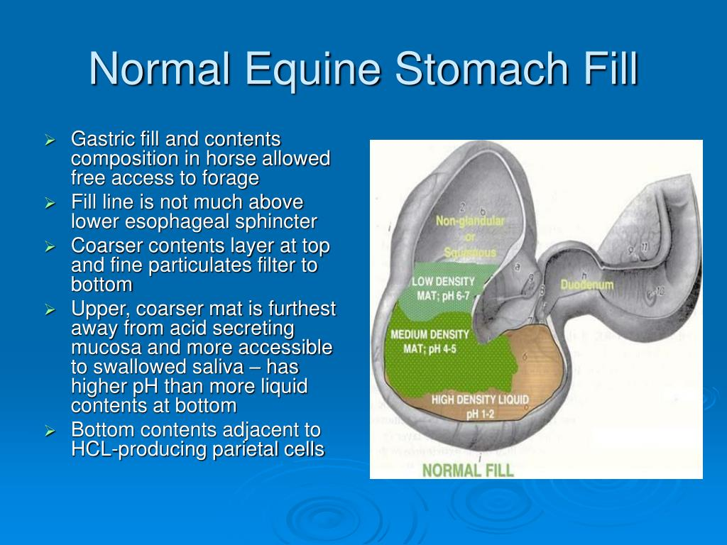 Normal Equine Stomach Fill