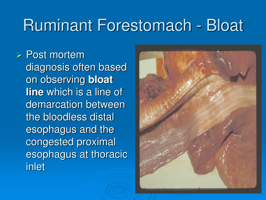 Ruminant Forestomach - Bloat
