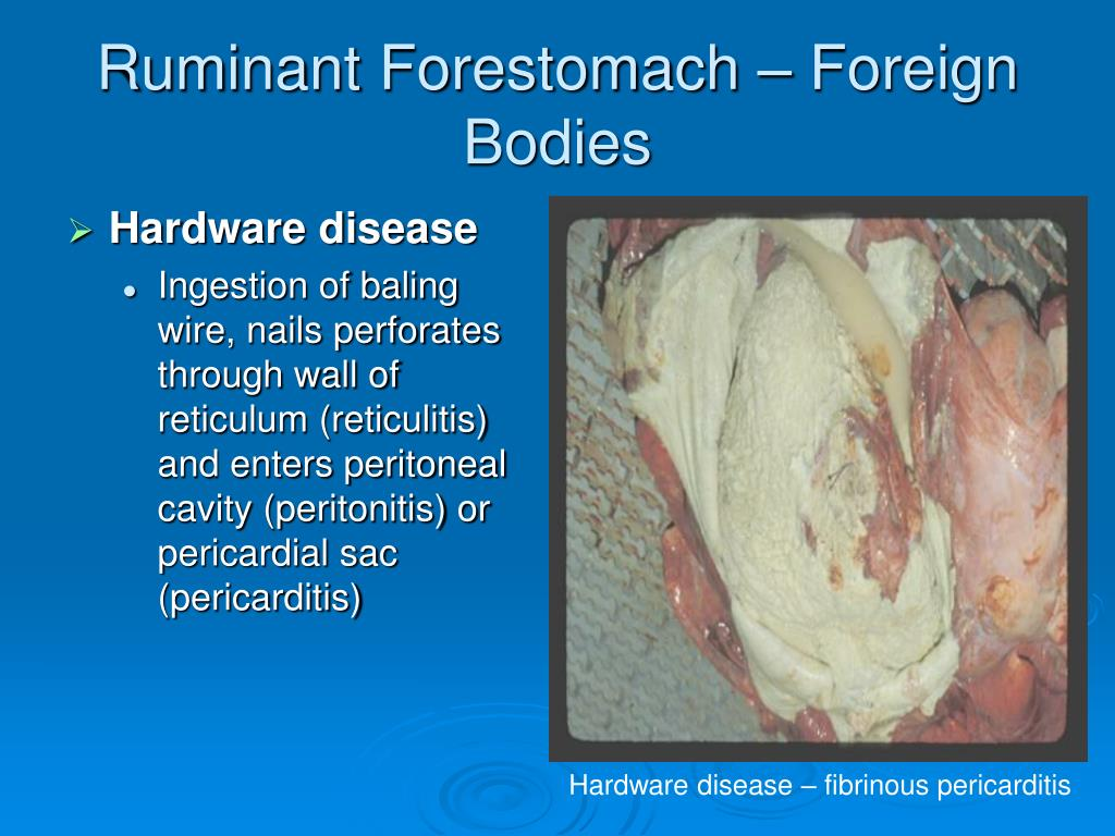 Ruminant Forestomach – Foreign Bodies