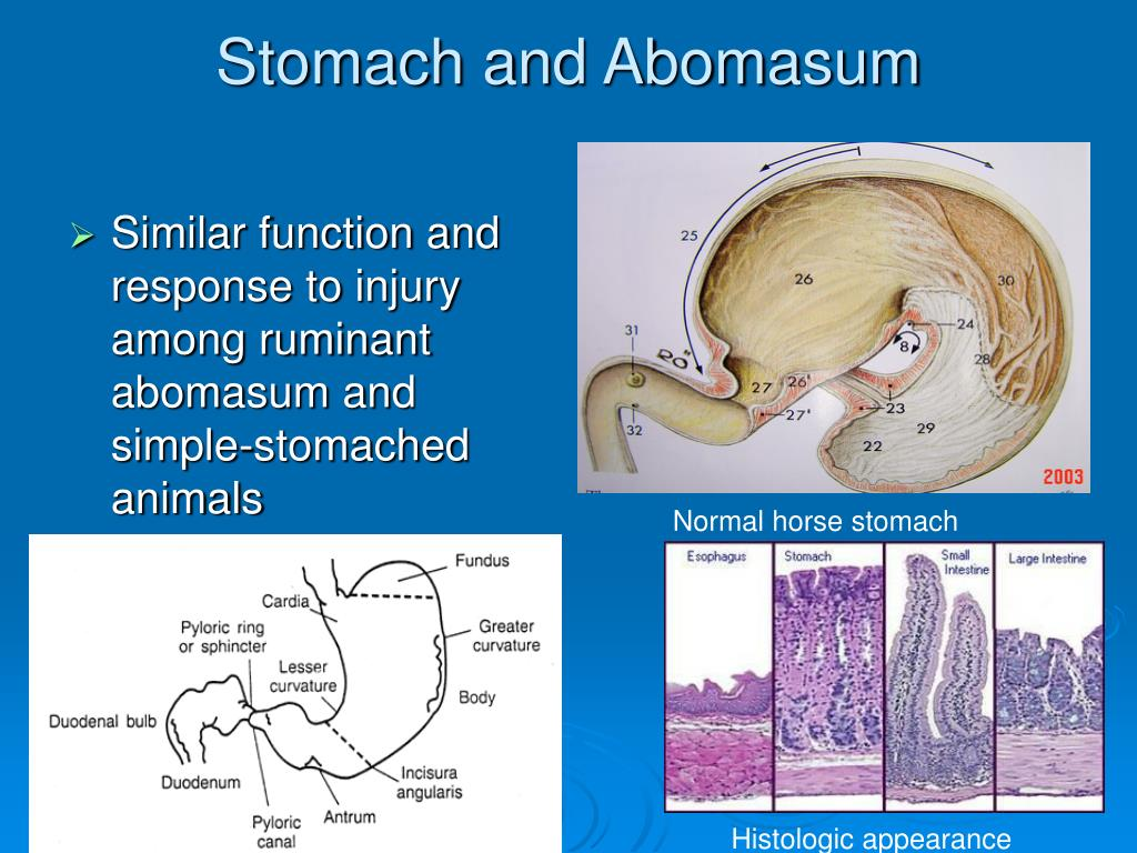 Stomach and Abomasum